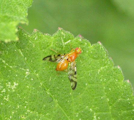 Acidia cognata - Hoefbladboorvlieg