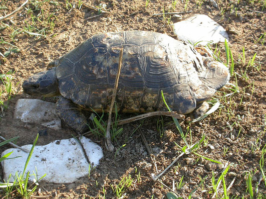 Testudo marginata weissingeri (dwergklokschildpad)
