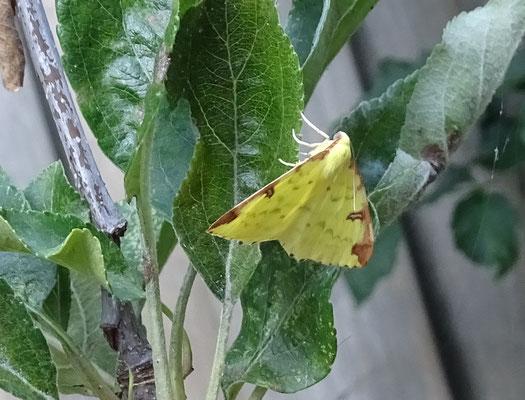 Ophistograptis luteolata - Hagedoornvlinder