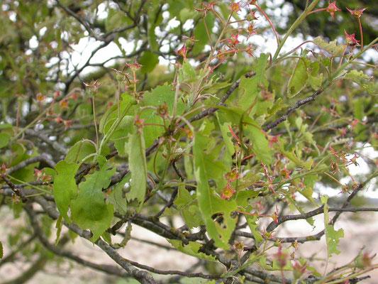Amelanchier lamarckii  - Amerikaans krentenboompje