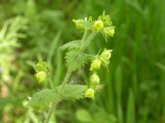 Scrophularia vernalis - Voorjaarshelmkruid