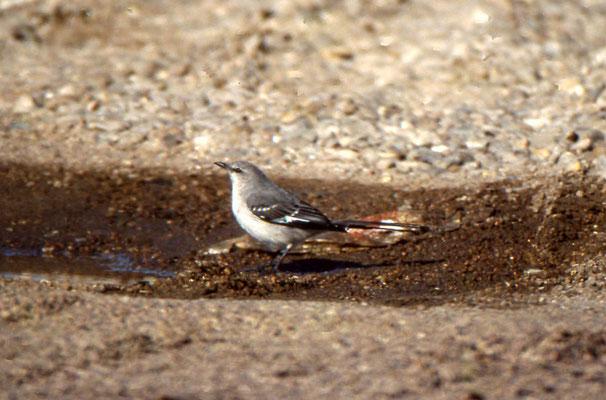 Northern Mokingbird