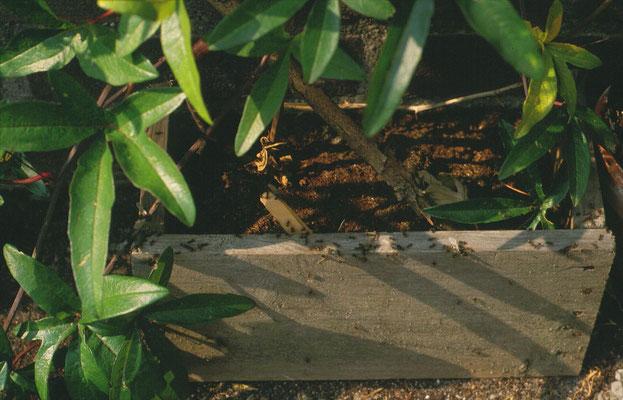 Lasius niger - bruine wegmier