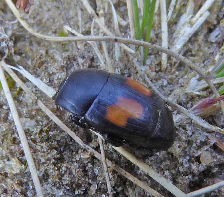 Margarinotus bipustulatus - Tweevlekplompkever