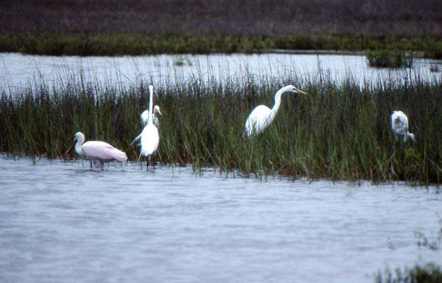 Great Egret en Roseate Spoonbill