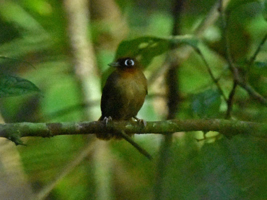 Rufous-throates Antbird