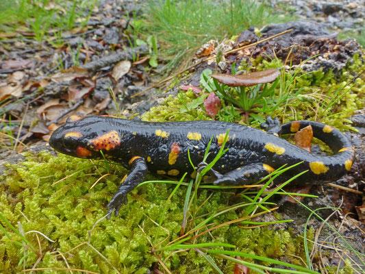 Salamandra salamandra gallaica