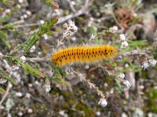 Lasiocampa trifolii - Kleine hageheld