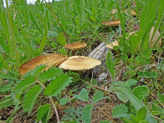 Polyporus ciliatus - Voorjaarshoutzwam