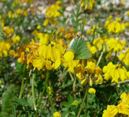 groentje (Callophrys rubi)