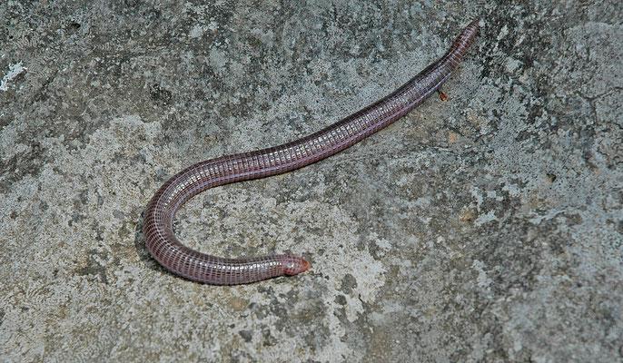 Blanus strauchi - Klein-Aziatische wormhagedis