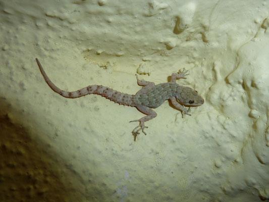 Cirtodactylus kotschyi