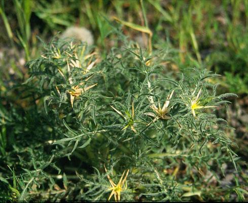 Centaurea calcitrapa - Kalketrip