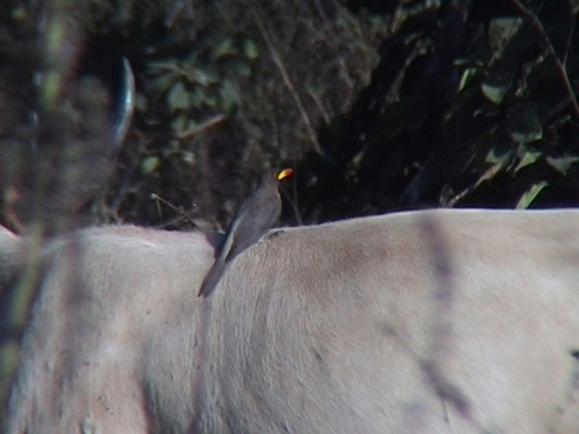 Yello-billed Oxpecker