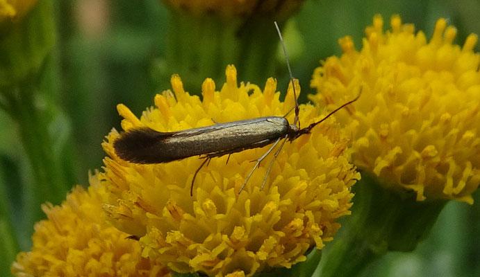 Coleophora deauratella - Grijze metaalkokermot
