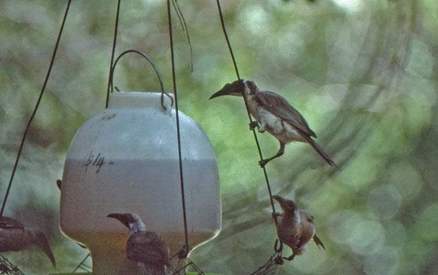 Helmeted - en Silver-crowned Friarbird