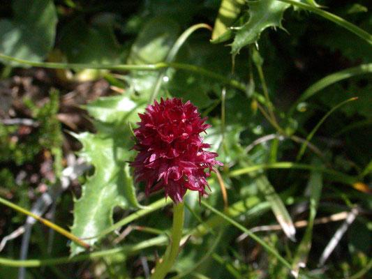 Nigritella nigra - Zwarte vanilleorchis