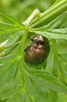 Chrysolina oricalcia - Voorjaarsgoudhaan
