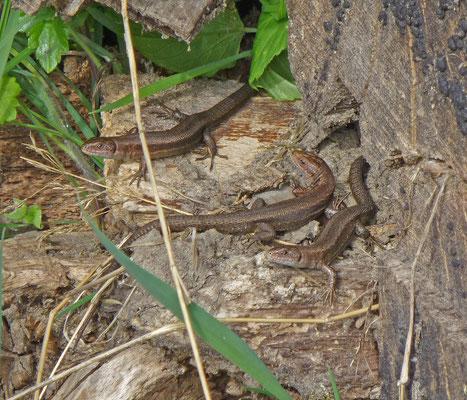 Zootoca vivipara - Levendbarende hagedis