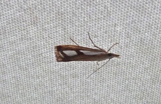 Catoptria permutatellus_osthelderi