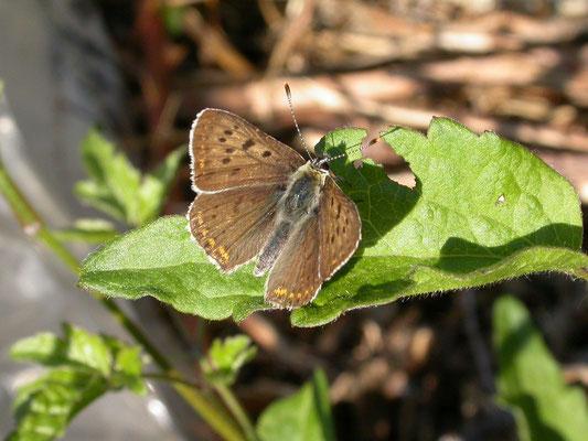 bruine vuurvlinder (Lycana tityrus), man