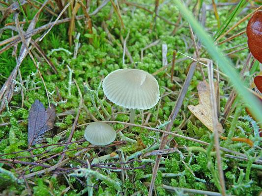 Mycena chlorantha - Groene mycena