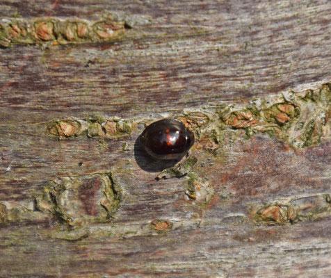 Chilocorus bipustulatus - Heidelieveheersbeestje