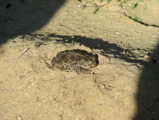 rugstreeppad (Epidalea calamita)