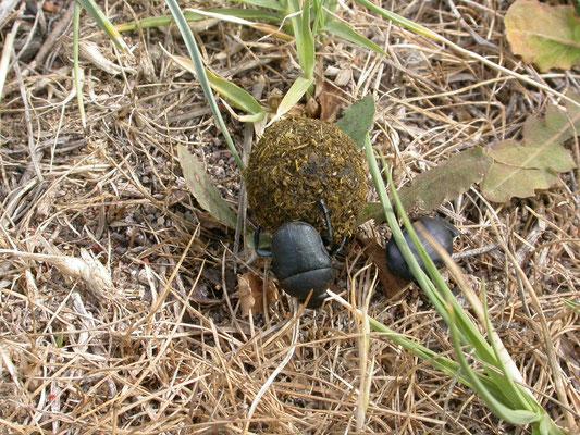 pillendraaier (Scarabaeus semipunctatus)