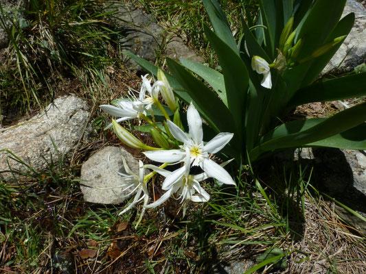 Pancratium ilyricum