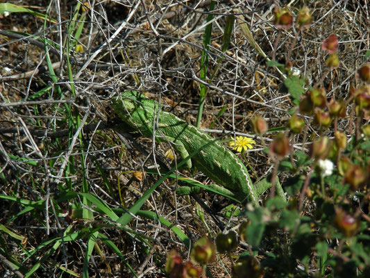 gewone kameleon (Chamaeleo chameleon)