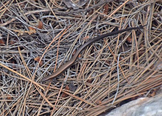 Rüppell's Snake-eyed Skink (Ablepharus rueppellii)