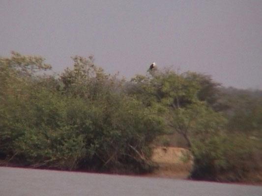 AfricanFish Eagle