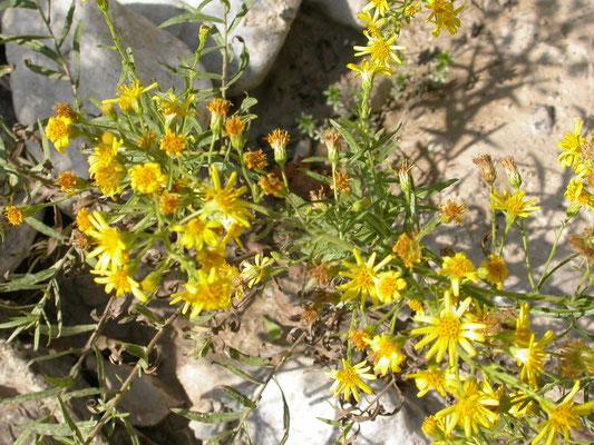Dittrichia viscosa - Kleverige alant