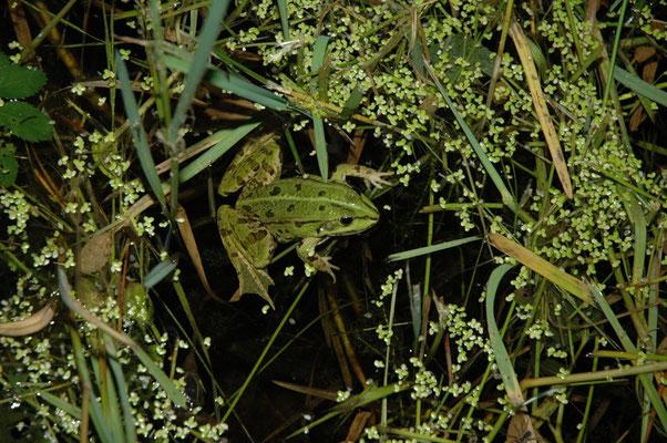 bastaardkikker (Pelophylax esculenta)