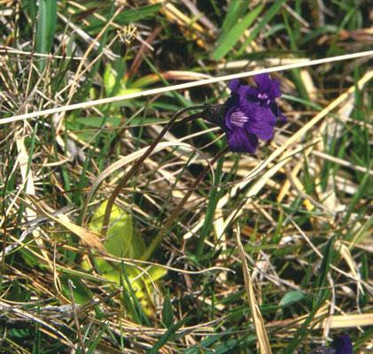 Pinguicula grandiflora - Grootbloemig vetblad