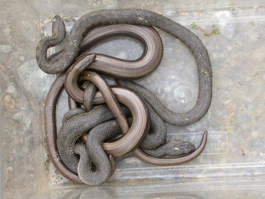 hazelwormen en adderringslangen