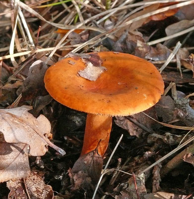 Lactarius mitissimus - Oranje melkzwam