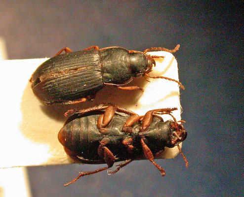Harpalus luteicornis