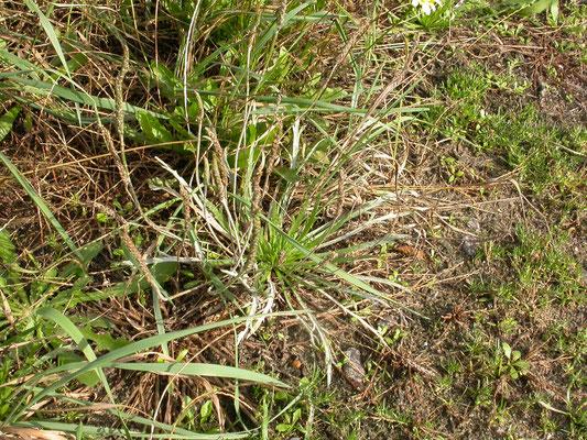 Plantago coronopus - Hertshoornweegbree