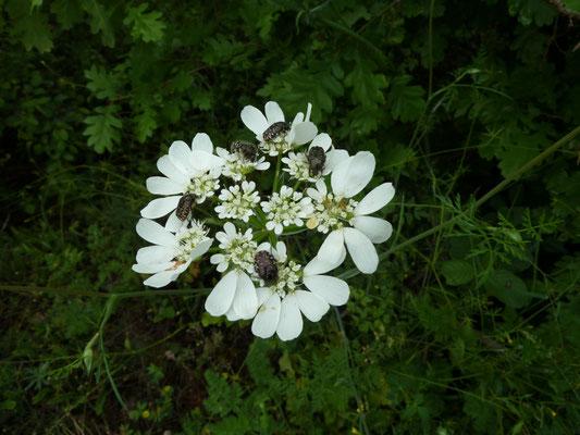 Orlaya grandiflora met Oxythyrea funesta