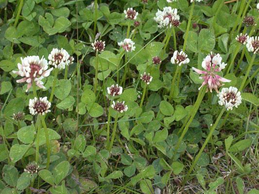 Trifolium repens - Witte klaver