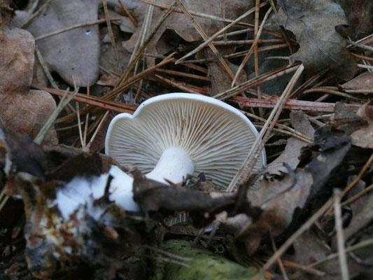 Tricholoma columbetta - Witte duifridderzwam