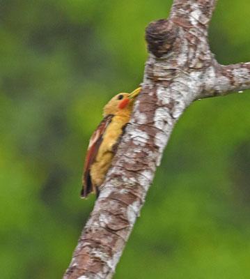 Cream-colored Woodpecker, female
