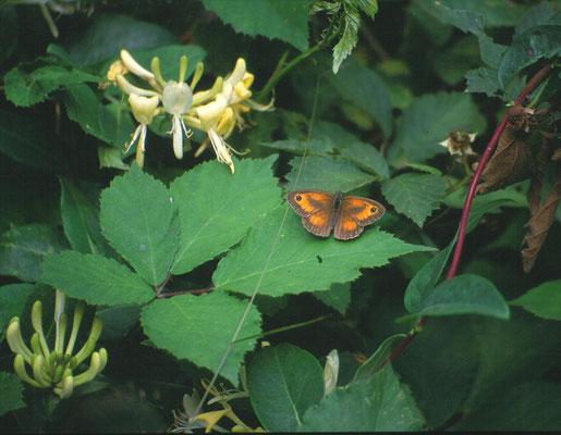 Lonicera periclymenum - Wilde kamperfoelie