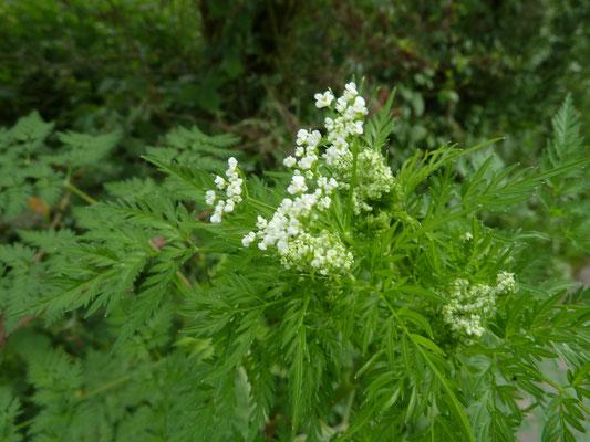 Chaerophyllum bulbosum - Knolribzaad