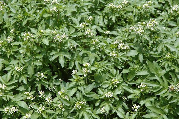 Rorippa nasturtium-aquaticum - Witte waterkers