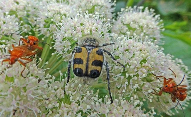 Trichius zonatus