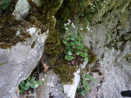 Saxifraga rotundifolia - Rondbladige steenbreek