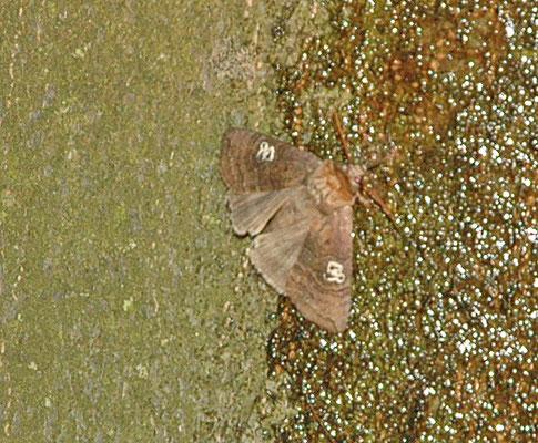 Tethea ocularis - Peppel-orvlinder